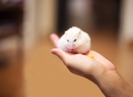 Cute Winter White Dwarf Hamster on the owner hand is being fed with pet food. The Winter White Hamster is also known as the Winter White Dwarf, the Djungarian or the Siberian Hamster. Stock Photo