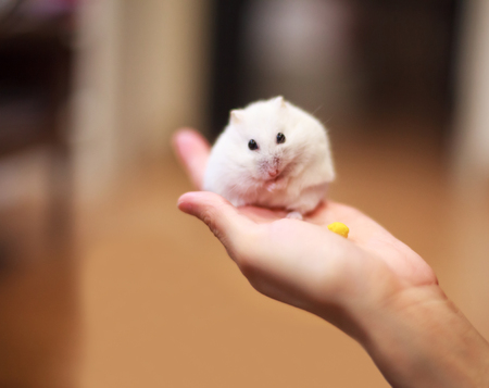7023f7a2c59 Cute Winter White Dwarf Hamster on the owner hand is being fed with pet  food.
