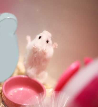2da93babe21 Cute Winter White Dwarf Hamster standing on hind legs on the wall asking  for pet food