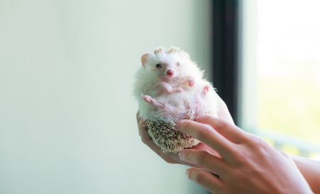 Animal Pet Care Love concept, cute white brown hedgehog on the owner's hand. Stock Photo