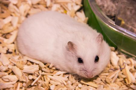 8f7ce0c81ab Cute Winter White Dwarf Hamster on lying on bedding. The Winter White  Hamster is also