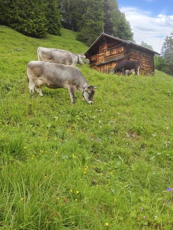 Farm Cows standing grazing grass in  meadow mountain field before the wooden summer cottage hut in rural Swiss Alps area in Murren village, Lauterbrunnen, Switzerland, Europe
