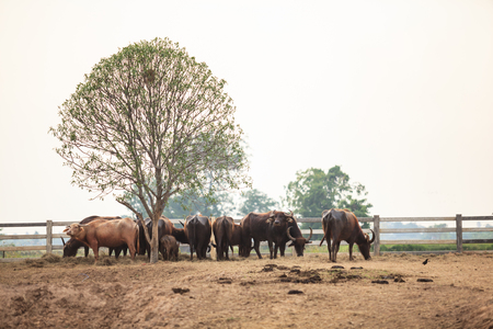 beautiful scene of water buffalo herd in the natural rural agricultural farm. Livestock Food industry, Asian Thai Traditional countryside Lifestyle concept.