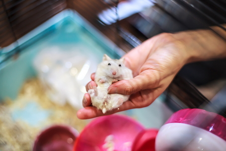 Cute Baby Tricolor Female Exotic Winter White Dwarf Hamster lying comfortably in owner palm hand in the cage. Winter White Hamster is also known as Winter White Dwarf, Djungarian or Siberian Hamster.
