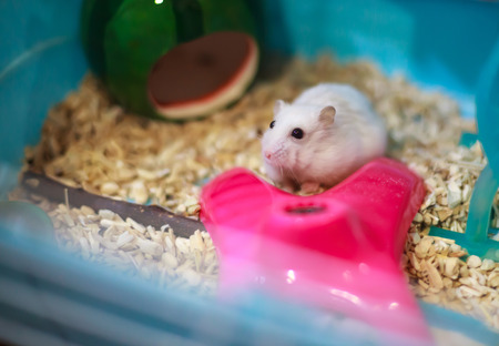 Cute Exotic Winter White Dwarf Hamster begging for pet food with innocent face. Winter White Hamster is also known as Winter White Dwarf, Djungarian or Siberian Hamster.