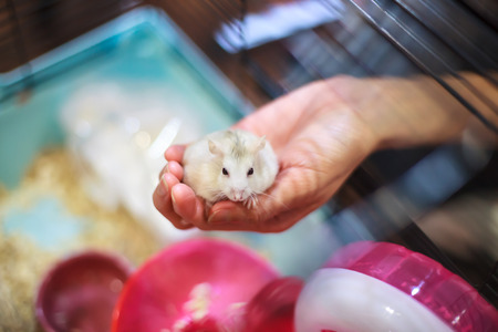Cute Exotic Tricolor Female Baby Winter White Dwarf Hamster standing on owner hand inside the cage. Winter White Hamster is also known as Winter White Dwarf, Djungarian or Siberian Hamster.