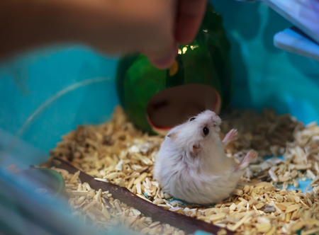 Cute Exotic Winter White Dwarf Hamster falling over on hind legs begging for pet food from owner hand. Winter White Hamster is also known as Winter White Dwarf, Djungarian or Siberian Hamster. Stock fotó