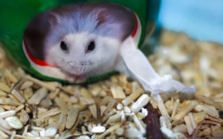 abe1a9ea14f Cute Exotic Winter White Dwarf Hamster looking straight face out from its  house. Winter White