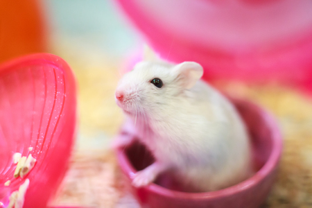 Cute Exotic Winter White Dwarf Hamster standing two legs begging for pet food with innocent face. Winter White Hamster is also known as Winter White Dwarf, Djungarian or Siberian Hamster.