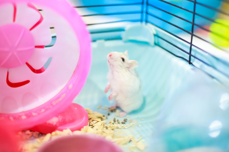 Cute Exotic white baby Winter White Dwarf Hamster standing two legs begging for pet food with innocent face. Winter White Hamster is also known as Winter White Dwarf, Djungarian or Siberian Hamster. Banque d'images