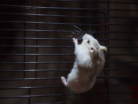 Cute Playful Little Winter White Dwarf Hamster (Winter White Dwarf, Djungarian, Siberian Hamster) climbing on cage in dark background in search of freedom, Fleeing. Human pet friend, animal concept Stock Photo