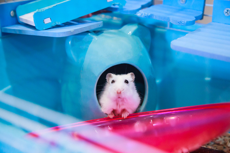Cute white Winter White Dwarf Hamster begging for pet food with innocent face in house. Winter White Hamster is known as Winter White Dwarf, Djungarian or Siberian Hamster. Pet, human friend concept.