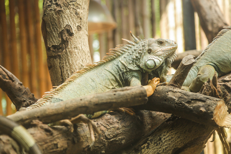 Green iguana (Iguana iguana), also known as American iguana, is a large, arboreal,  lizard. Found in captivity as a pet due to its calm disposition and bright colors. Exotic Pet Care, Wildlife, Animal