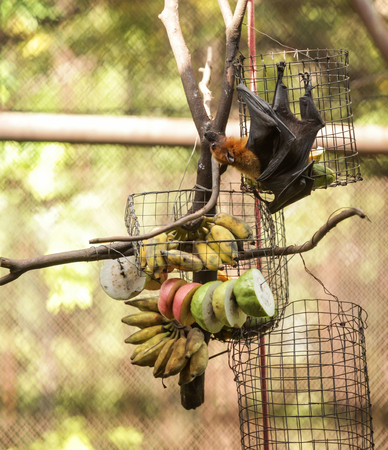 Lyles flying fox (fruit bat) feeds on fruit in zoo. It is gregarious and roosts in tropical forest, and in mangrove forests. It navigates with keen eyesight and locates resource with sense of smell.