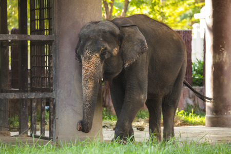 Animal: Thai Elephant (Chang), the official national animal of Thailand, is Indian Elephant (Asian Elephant). Natural habitat of Thai elephant is in tropical forests which are full of its fruit diet.