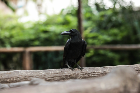 Jungle crow (large-billed crow, thick-billed crow), widespread Asian species of crow, is very adaptable to wide ranges of food sources, making it capable of colonizing new areas. Animal wildlife bird.