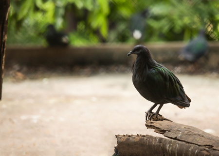 Nicobar pigeon (Nicobar dove), large pigeon found on small islands and coastal regions, the closest living relative of the extinct dodo. Head and upper neck plumage is grey, the rest is metallic green