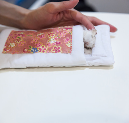 Owner tending Winter White Hamster in deathbed on white background. Pet animal death, Illness, Life moment, Truth moment, Farewell, Tears, Sadness, Sympathy, Rest in Peace, Parting and Goodbye concept Stock fotó