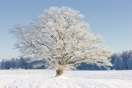 Frozen tree on winter field and blue sky photo