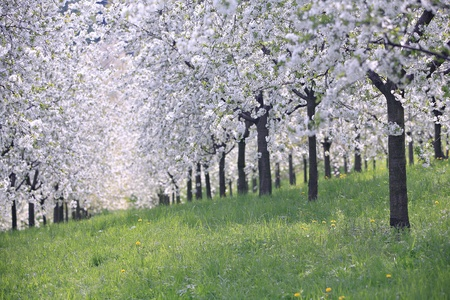 blooming apple orchard in the spring in Prague Stock Photo