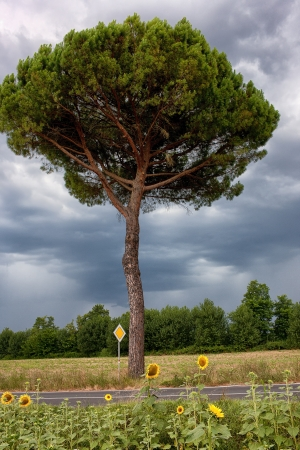 Sunflowers on the road with a signpost. Italy photo