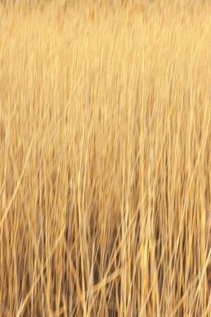 Yellow reed on a sunny day photo