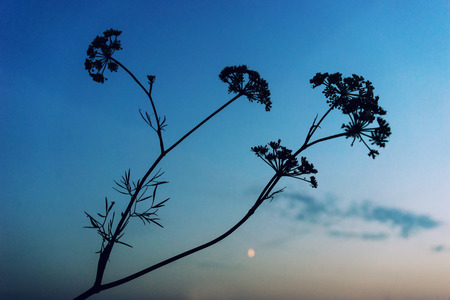 Bush silhouette against the blue sky at sunset photo