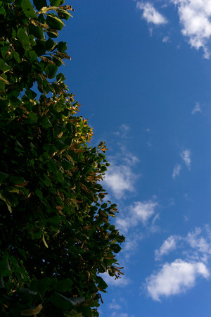 Linden green leaves against a blue summer sky. Latvia, Riga photo