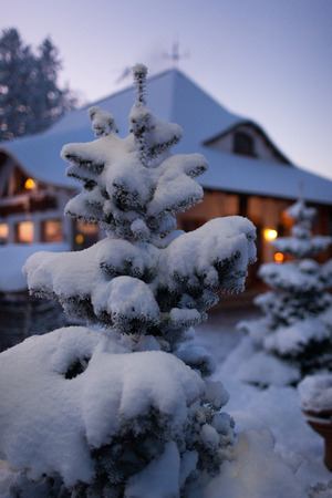 Spruce in the snow against the house on the eve of Christmas and New Year