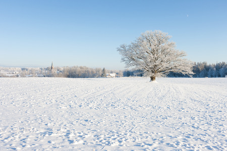 Mighty old oak tree in white frost in the field on a background of blue sky, forest and church. Latvia