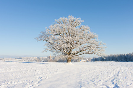 Mighty old oak tree in white frost in the field on a background of blue sky, forest and church