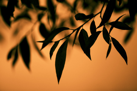 Sharp leaves on the branches of a tree on orange sunset background