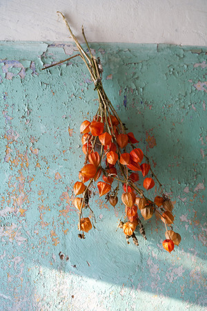 Decorative dry plant hanging on the old wall with paint peeling off. Latvia photo