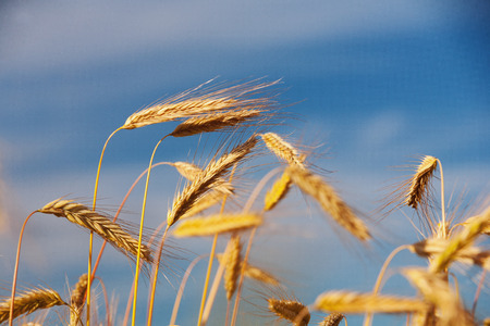 Golden ears of grain in the evening light on the background of blue sky photo