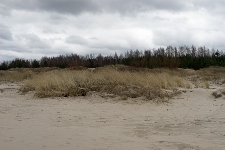 Dune grass with yellow line in the sand and pine forest in the early spring