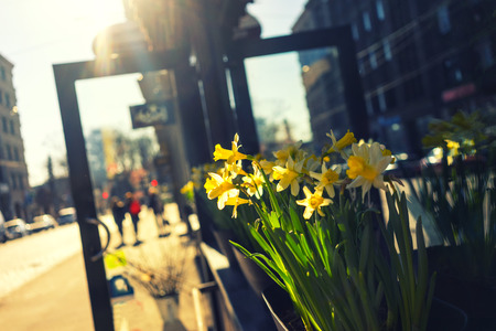 Yellow daffodils at the open door to the store on the street on a sunny day in spring. Riga, Latvia