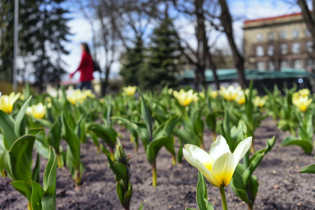 Tulips growing in the flowerbed in city park in the early spring on a sunny day photo