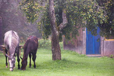 latvia girls: Two horses eating apples on the green grass in the countryside near the house Stock Photo