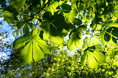 Young green leaves of the chestnut trees in spring against a blue sky