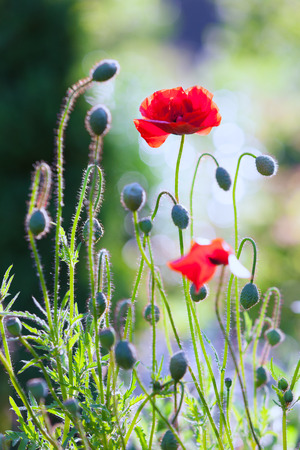 Red poppies in a sunny summer garden stretches to the sky Stock Photo