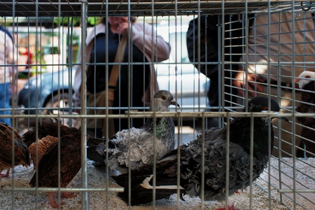 pidgeon: Paris, France - may 4. Pigeons in a cage in the poultry market in Paris on a background of choosing shoppers and tourists