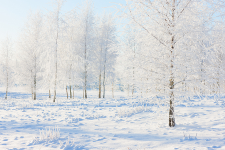 Birch forest in the snow and frost on the background of the clear blue sky in the winter for Christmas Stock Photo