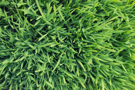 carpet grass: Lawn of young green grass like carpet for the background