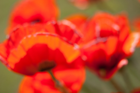 vague: Large red vague poppies on green grass background Stock Photo