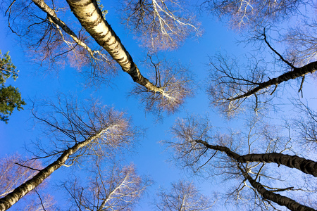 Trees without leaves stretch to the blue sky without clouds in the early spring