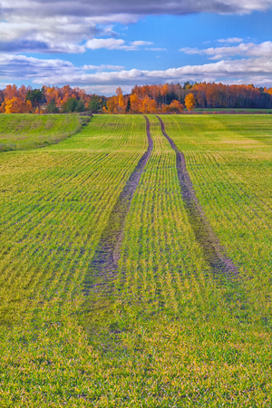 Track from the tractor on a sown with winter grain field against a background of yellow forest trees on the horizon Stock Photo