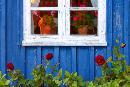 White window of a vintage wooden house with a blue wall against the background of red gerhins in the garden