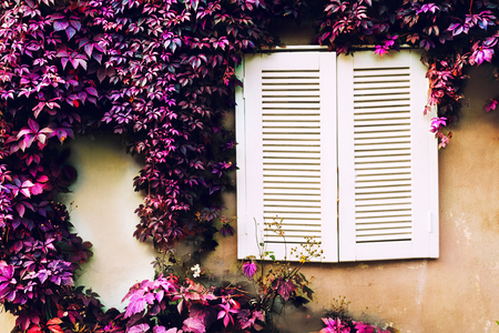 Window with white jalousie on a beige wall with purple leaves of a loach in the garden Stock Photo