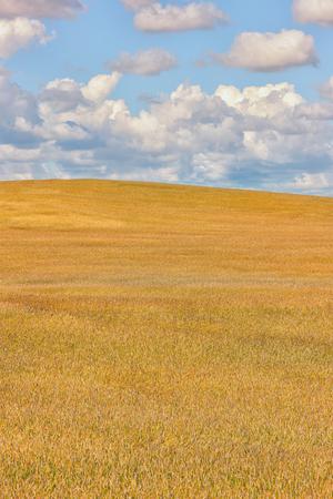 Большое поле зерновых культур желтого цвета до горизонта против голубого неба с белыми облаками летом Фото со стока