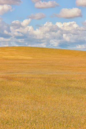 A large field of grain crops of yellow color up to the horizon against a blue sky with white clouds in summer